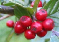 Cotoneaster hualiensis