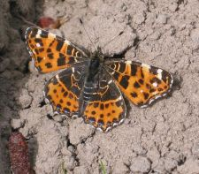 Araschnia levana - Map butterfly (spring generation)