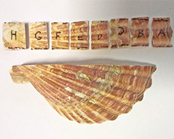 Modern Pecten (a bivlave), cut into growth segments for geochemical analyses