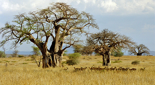 The savanna in Tanzania. Photo: Jens Friis Lund
