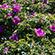Læs mere om: Mange invasive plante- og dyrearter indføres med vilje