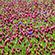 Læs mere om: Dækafgrøder er et godt alternativ til ukrudtsbekæmpelse
