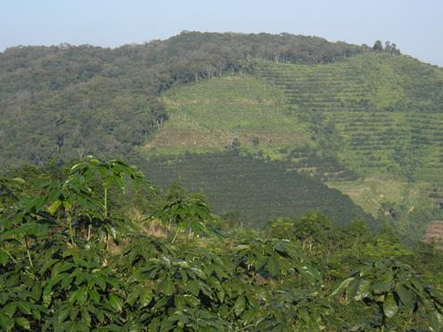 Plantage med gummitræer