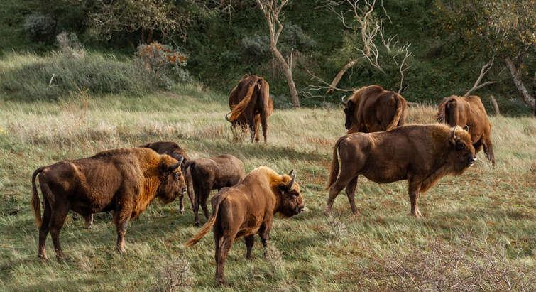 Europæisk bison i Kraansvlak, Holland.