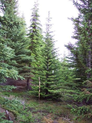 "Abies lasiocarpa from 1982 in The ""Kuussuaq"" forest, The Tasermiut fiord."